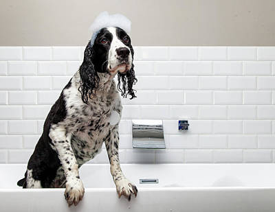 Adorable Springer Spaniel Dog In Tub Poster by Susan Schmitz