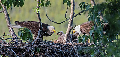 Adult Bald Eagles Feed Their Chicks Poster by Rocky Grimes