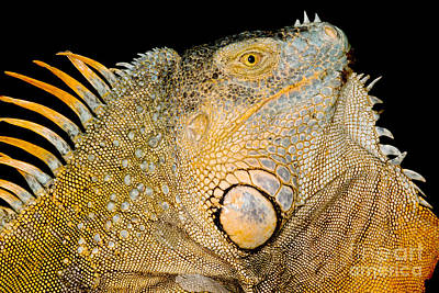 Adult Male Green Iguana Poster