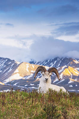 Adult Ram Dall Sheep Resting Poster