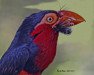 African Bearded Barbet Poster by Larry Linton