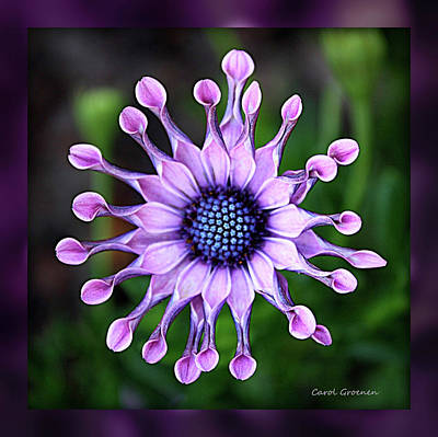 African Daisy - Hdr Poster by Carol Groenen