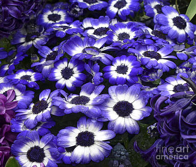African Daisy Purple And White Poster