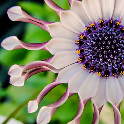 Poster featuring the photograph African Daisy Squared by TK Goforth