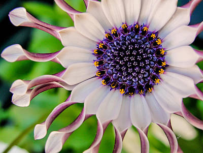 African Daisy Poster by TK Goforth