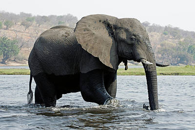 African Elephant - Bathing Poster