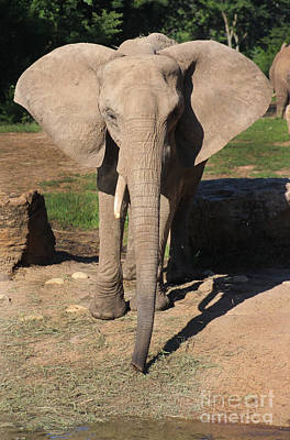 African Elephant-0164 Poster