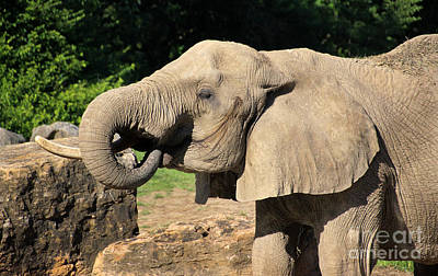 African Elephant-0182 Poster