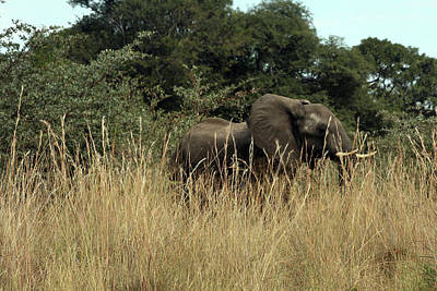 African Elephant In Tall Grass Poster
