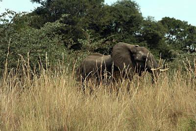 Poster featuring the photograph African Elephant In Tall Grass by Karen Zuk Rosenblatt