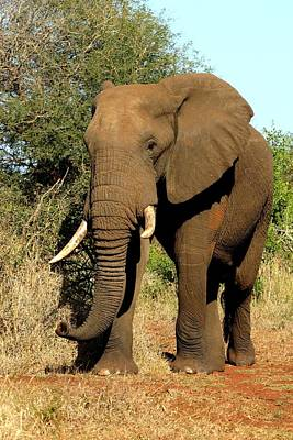 Poster featuring the photograph African Elephant by Riana Van Staden