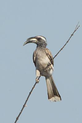 African Grey Hornbill Tockus Nasutus Poster
