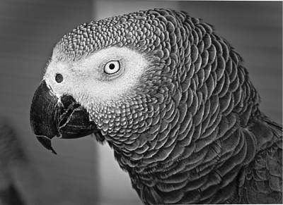 African Grey Parrot Poster