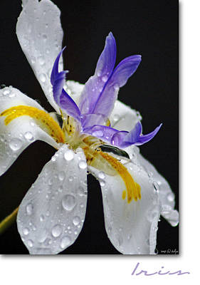 African Iris Poster by Holly Kempe