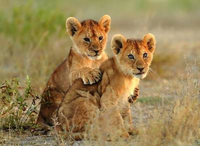 African Lion Cubs Poster