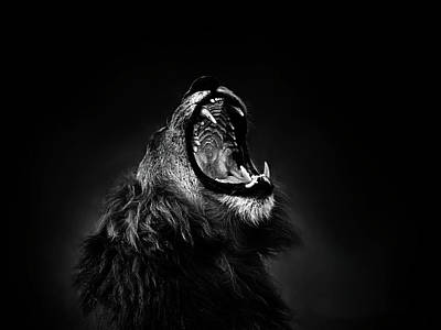 African Lion Male Yawning Showing Fierce Canine Teeth Poster