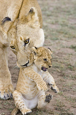 African Lion Mother Picking Up Cub Poster by Suzi Eszterhas