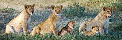 African Lion Panthera Leo Family Poster