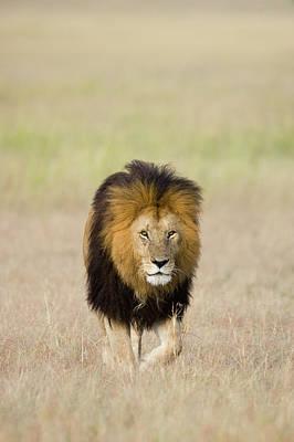African Lion Panthera Leo Male, Masai Poster by Suzi Eszterhas