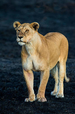 African Lion Panthera Leo Standing Poster by Panoramic Images