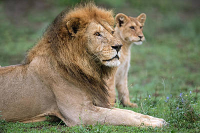 African Lion Panthera Leo With Its Cub Poster