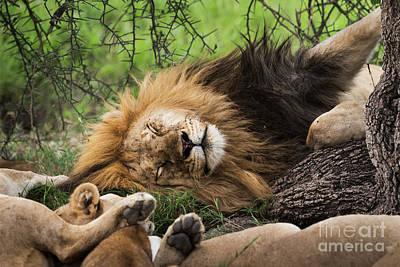African Lion Sleeping In Serengeti Poster