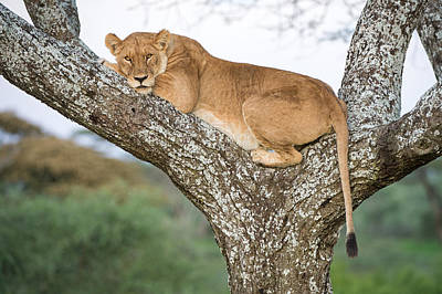 African Lioness Panthera Leo Resting Poster