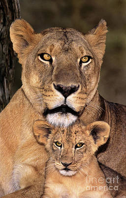 Poster featuring the photograph African Lions Parenthood Wildlife Rescue by Dave Welling