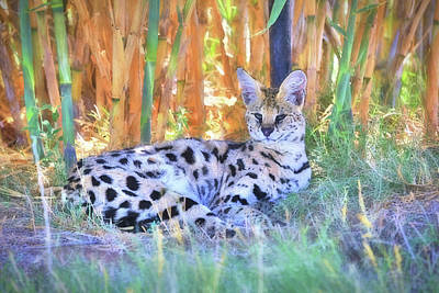 African Serval Wildcat Poster by Donna Kennedy