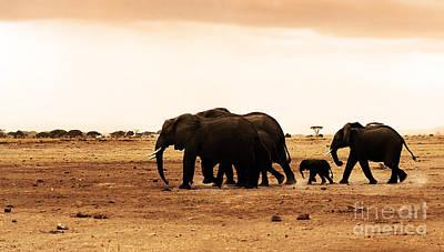 African Wild Elephants Poster