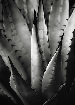 Poster featuring the photograph Agave And Patterns by Eduard Moldoveanu