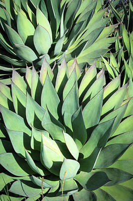 Poster featuring the photograph Agave by Catherine Lau