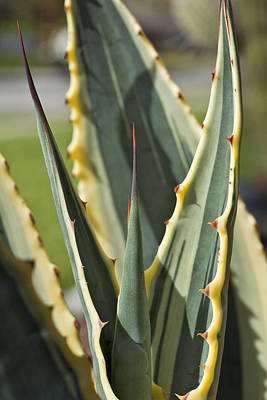 Agave Poster by Kelley King