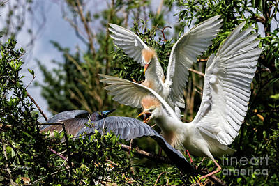 Aggression Between Cattle Egrets And Tricolored Heron Poster