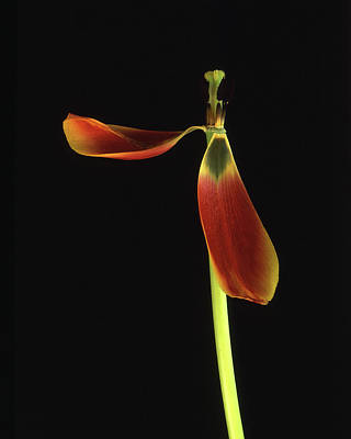 Poster featuring the photograph Aging Tulip by Art Shimamura