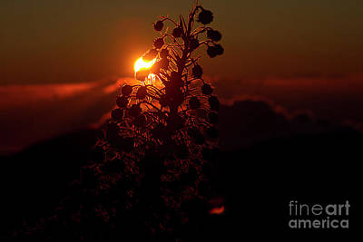 Poster featuring the photograph Ahinahina - Silversword - Argyroxiphium Sandwicense - Sunrise by Sharon Mau