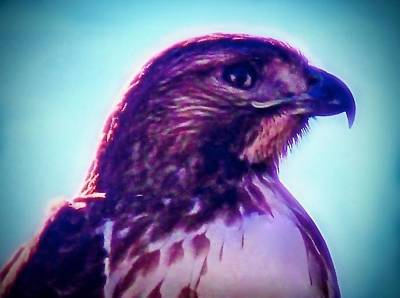 Ak-chin Red-tailed Hawk Portrait Poster