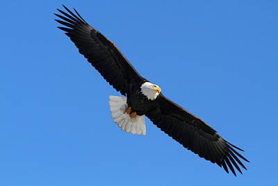 Alaska Bald Eagle Poster