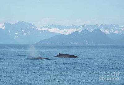 Poster featuring the photograph Alaska Finback Whales by Barbara Von Pagel