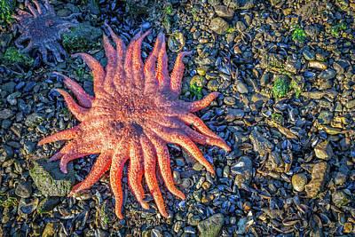 Alaska Starfish Poster by Wild Montana Images