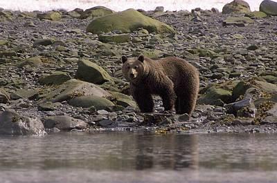 Alaskan Brown Bear Dining On Mollusks Poster