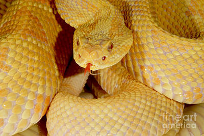 Albino Brazilian Rattlesnake Poster by Dant� Fenolio