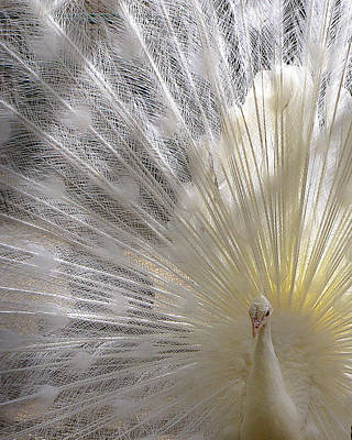 Pure White Peacock Poster