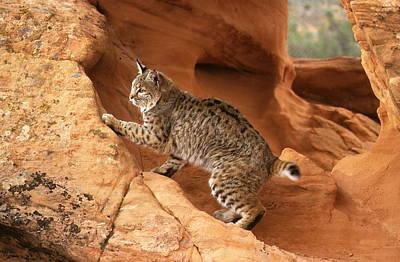Alert Bobcat Poster by Larry Allan