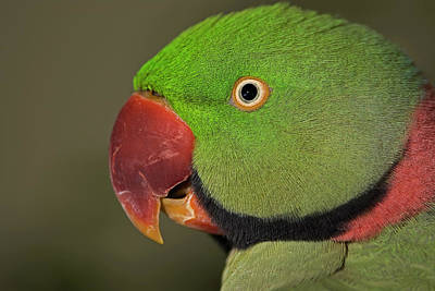 Poster featuring the photograph Alexandrine Parakeet by JT Lewis