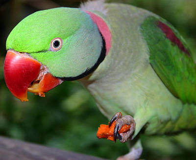 Alexandrine Parrot Feeding Poster