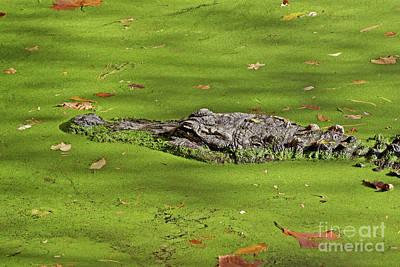Alligator In Sun Poster
