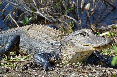 Alligator Poster by Linda Covino