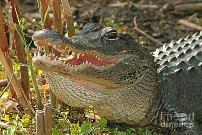 Alligator Showing Its Teeth Poster