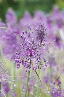 Allium Carinatum Flowering Poster by Tim Gainey
